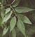 white_ash_leaf